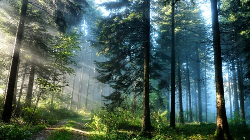 foggy-pine-forest-hd-pc-wallpapers