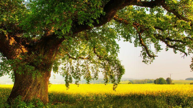 oak_tree_2-wallpaper-3840x2400